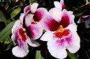 Мильтония (Miltonia) / Комнатные растения и цветы / Орхидеи