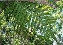 Многоножка золотистая (Полиподиум или флебодиум) (Polypodium Aureum) / Комнатные растения и цветы / Папоротники
