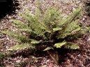 Многорядник (Polystichum) / Комнатные растения и цветы / Папоротники