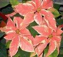 Молочай прекраснейший (пуансеттия) (Euphorbia pulcherrima) / Комнатные растения и цветы