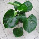 Монстера деликатесная, лакомая (Monstera deliciosa) / Комнатные растения и цветы
