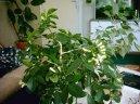 Мурайя метельчатая (Murraya paniculata) / Комнатные растения и цветы / Бонсаи