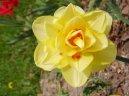 Нарцисс (Narcissus) / Комнатные растения и цветы