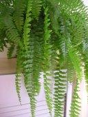 Нефролепис возвышенный (Nephrolepis exaltata) / Комнатные растения и цветы / Папоротники