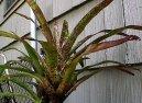 Неорегелия (Neorgelia) / Комнатные растения и цветы