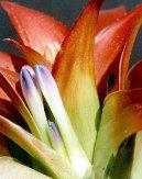 Нидулариум (Nidularium) / Комнатные растения и цветы