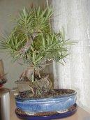 Ногоплодник (Podocarpus)
