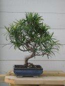 Ногоплодник (Podocarpus) / Комнатные растения и цветы / Деревца