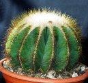Нотокактус (Notocactus) / Комнатные растения и цветы