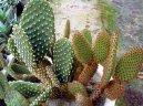 Опунция (Opuntia) / Комнатные растения и цветы
