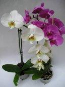 Орхидея Фаленопсис (Phalaenopsis) / Комнатные растения и цветы / Орхидеи