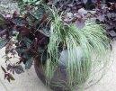 Осока Морроу (Carex morrowii Variegata) / Комнатные растения и цветы
