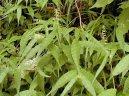 Остянка (Oplismenus) / Комнатные растения и цветы