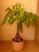 Пахира (Pachira) / Комнатные растения и цветы / Деревца