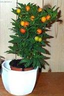Паслен перцевидный (Звездчатый перец) (Solanum capsicastrum) / Комнатные растения и цветы / Кустовые
