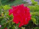 Пеларгония (герань) (Pelargonium) / Комнатные растения и цветы