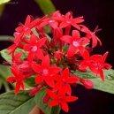Пентас (Pentas) / Комнатные растения и цветы