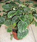 Пеперомия (Peperomia) / Комнатные растения и цветы