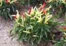 Перец стручковый однолетний (Capsicum annuum) / Комнатные растения и цветы / Плодоносящие растения