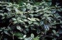 Пилея (Pilea) / Комнатные растения и цветы
