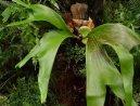 Платицериум (Platycerium) / Комнатные растения и цветы / Папоротники