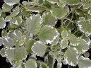 Плектрантус (Plectranthus) / Комнатные растения и цветы