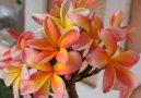 Плумерия (Plumeria alba) / Комнатные растения и цветы / Кустовые
