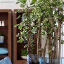 Полисциас (Polyscias) / Комнатные растения и цветы / Деревца
