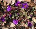 Примула (первоцвет) (Primula) / Комнатные растения и цветы