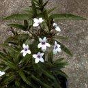 Псевдэрантемум (Pseuderanthemum) / Комнатные растения и цветы / Кустовые