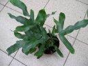 Птерис критский (Pteris cretica)