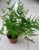 Птерис критский (Pteris cretica) / Комнатные растения и цветы / Папоротники