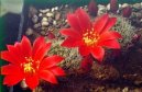 Ребуция крошечная (Rebutia miniscula)