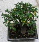 Самшит Гарланда (Buxus harlandii, buxus microphylla sinica) / Комнатные растения и цветы / Бонсаи