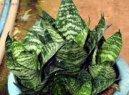 Сансевиерия (Sansevieria) / Комнатные растения и цветы