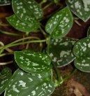 Сциндапсус (Scindapsus)
