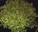 Селагинелла (плаунок) (Selaginella) / Комнатные растения и цветы