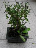 Серисса вонючая (серисса японская) (Serissa foetida) / Комнатные растения и цветы / Бонсаи