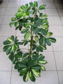 Шеффлера (Schefflera) / Комнатные растения и цветы
