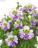 Схизантус (Schizanthus) / Комнатные растения и цветы / Однолетние