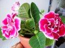 Синнингия (Глоксиния) (Sinningia) / Комнатные растения и цветы
