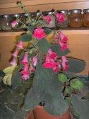 Смитианта (Smithiantha) / Комнатные растения и цветы