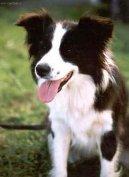 Аджилити (Agility) / Породы собак / Породы собак: Советы для кинологов: Уход, советы, бесплатные объявления, форум, болезни