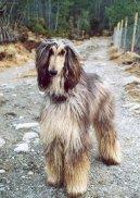 Фотографии к статье: Афганская борзая (Афган) (Afghan Hound) / Советы по уходу и воспитанию породы собак, описание собаки, помощь при болезнях, фотографии, дискусии и форум.