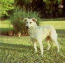 Айди (Атласская пастушья собака) (Aidi, Atlas Mountain Dog)
