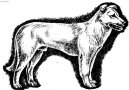 Айди (Атласская пастушья собака) (Aidi, Atlas Mountain Dog) / Породы собак / Породы собак: Пинчеры и шнауцеры, молоссы: Уход, советы, бесплатные объявления, форум, болезни