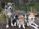Акита (Большая японская собака) (Japanese Akita)