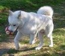 Акита (Большая японская собака) (Japanese Akita) / Породы собак / Породы собак: Служебные: Уход, советы, бесплатные объявления, форум, болезни