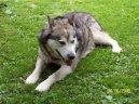 Аляскинский маламут (Alaskan Malamute) / Породы собак / Породы собак: Северные: Уход, советы, бесплатные объявления, форум, болезни