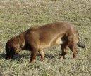 Альпийская таксообразная гончая (Alpine Dachsbracke) / Породы собак / Породы собак: Среднего размера: Уход, советы, бесплатные объявления, форум, болезни